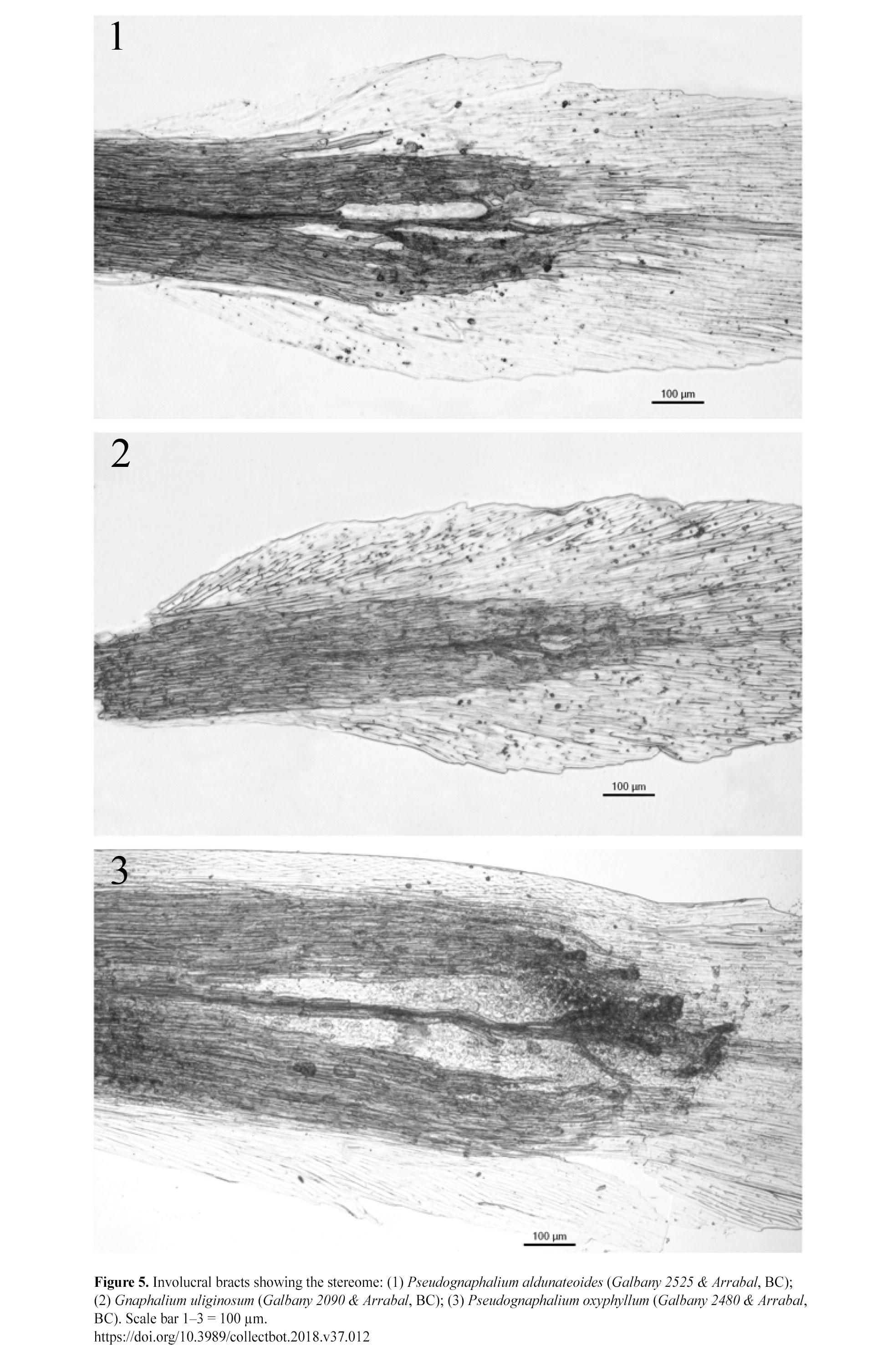 Pseudognaphalium aldunateoides de nuevo bajo Gnaphalium